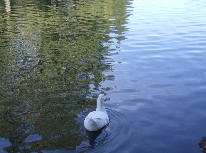 Attitudinal Duck